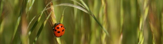 ladybird in grasses