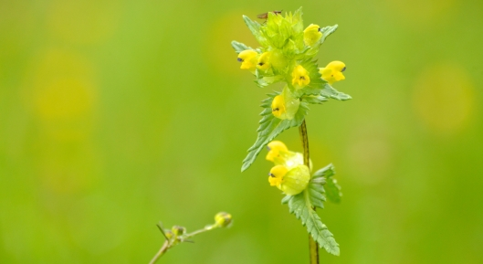 yellow rattle high borrowdale