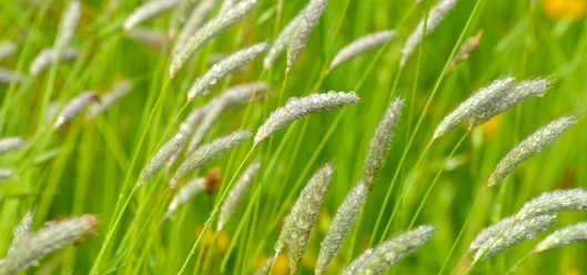 grasses in the meadow, high borrowdale cumbria