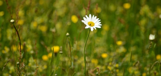 oxeye daisy in meadow