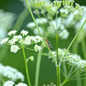 Soldier beetle on Cow Parsley