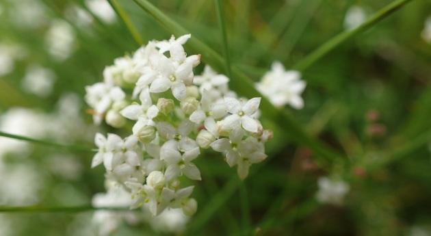 heath bedstraw flower
