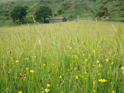 High Borrowdale upland hay meadow
