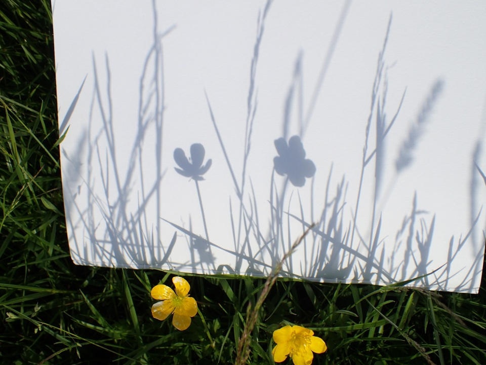 buttercups shadow on paper